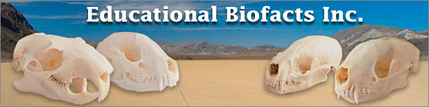 Educational Biofacts - skulls skeletons materials fossils