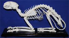 Cat skeleton Felis catus