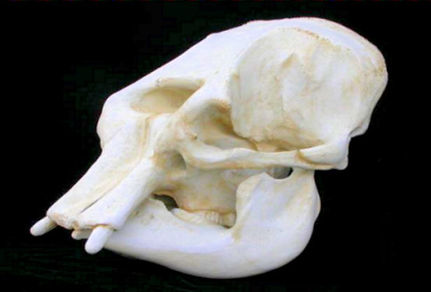 Asian Elephant Adult Female Skull