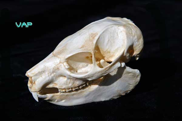 Tree Hyrax skull