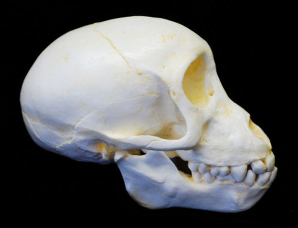 Chacma Baboon Juvinile Skull