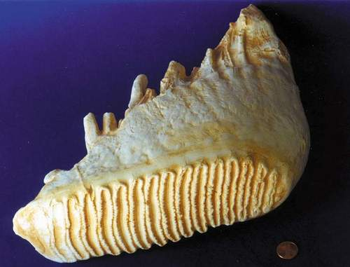 Asian Elephant Tooth