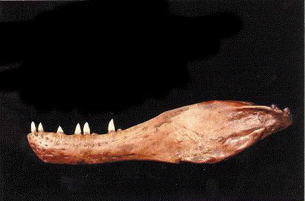 ALBERTOSAUR Lower Jaw