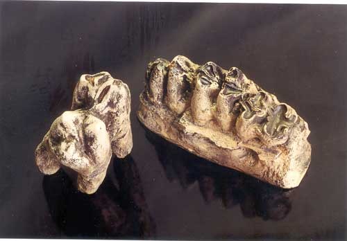 Asian Hippopotamus Tooth Row With Root
