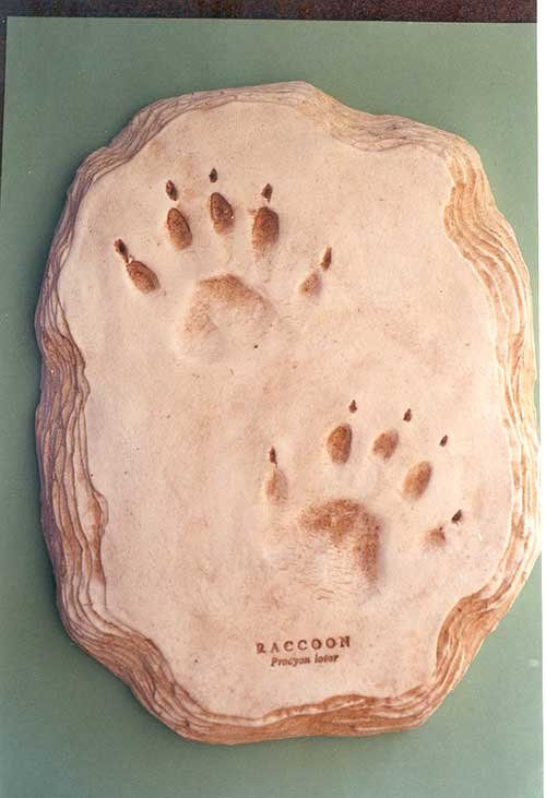 Raccoon footprint